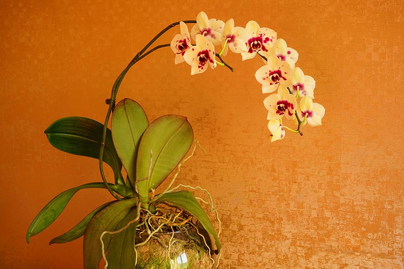 A close up horizontal image of an orchid plant growing in a glass pot with yellow and red flowers pictured on an orange background.