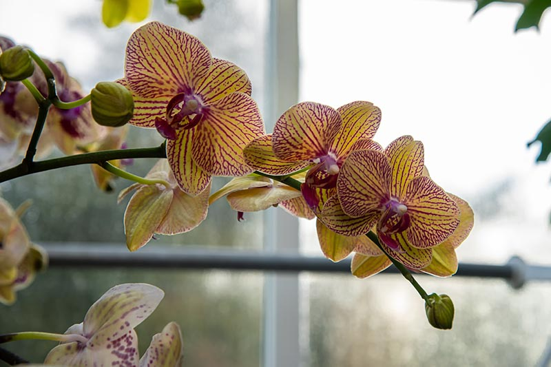 A close up horizontal image of Phalaenopsis orchid flowers growing in a pot on a windowsill.