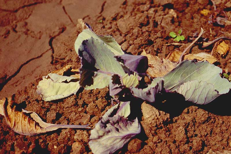A close up horizontal image of cabbage leaves suffering from yellows set on a soil background.