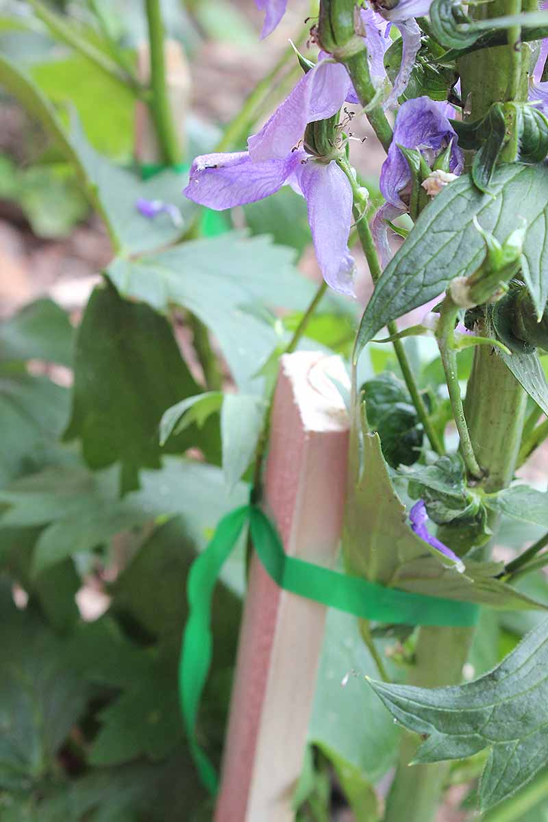 A vertical close up image of a delphinium plant with a wooden stake tied to the stem with green tape and foliage in soft focus in the background.