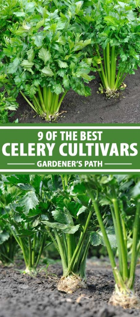 A collage of photos showing different types of celery varieties growing in a vegetable garden.