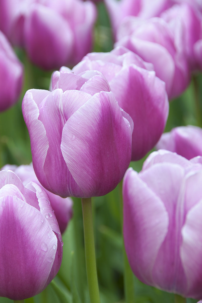 A close up vertical image of light pink and purple 'Aafke' tulips growing in the garden, fading to soft focus in the background.