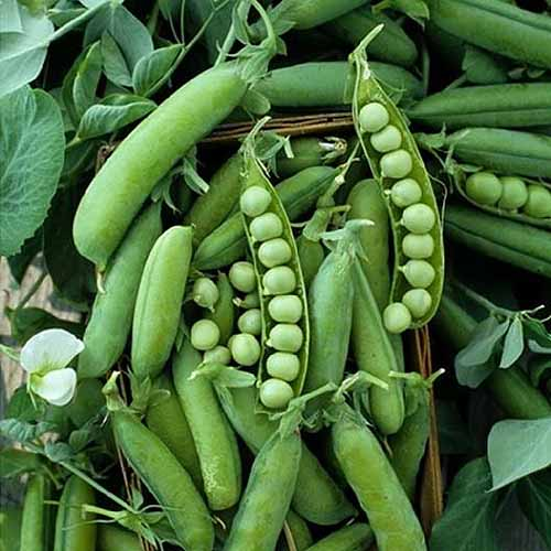 A close up square image of an 'Alaska' pea plant with some of the pods opened up to reveal ripe peas.