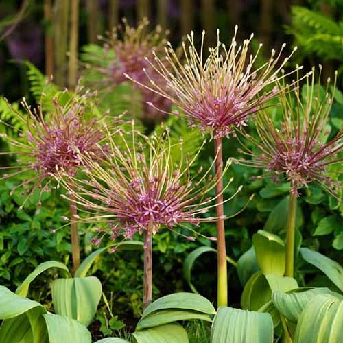 A close up square image of Allium schubertii with unusual pink flowers, growing in the garden pictured in light sunshine on a soft focus background.