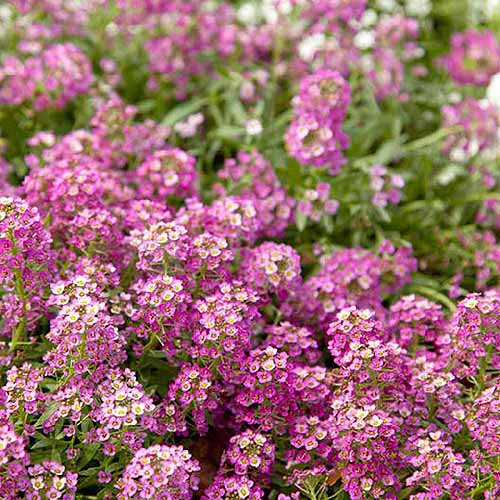 A close up square image of pink sweet alyssum flowers growing in the garden.
