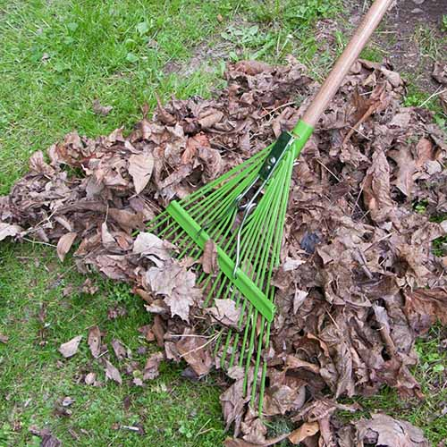 A close up of the green metal head of the Ames 22-Tine Metal Rake with Wooden Handle clearing leaves from a lawn.