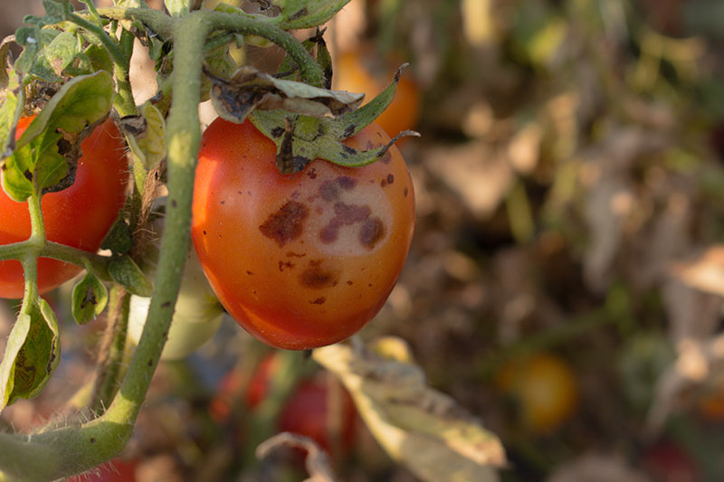A close up horizontal image of a red tomato growing on the vine suffering from a disease called Anthracnose, pictured in filtered sunlight on a soft focus background.