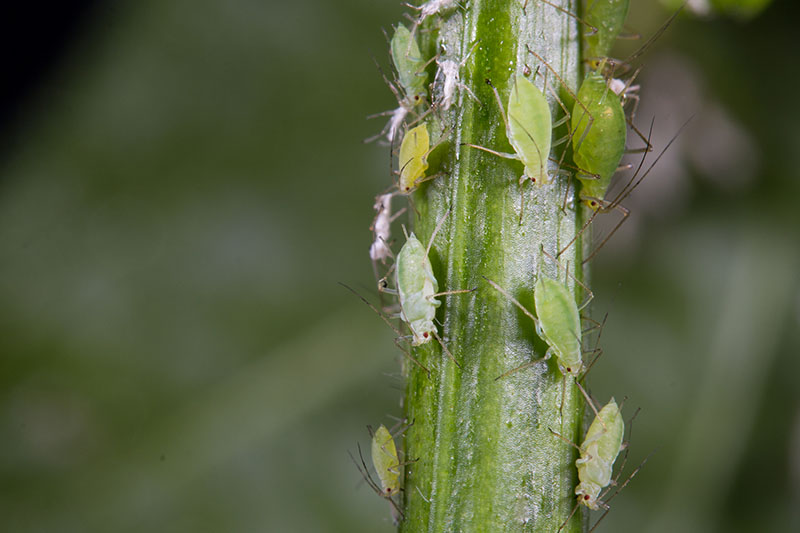 A close up horizontal image of aphids infesting a stem, pictured on a green soft focus background.