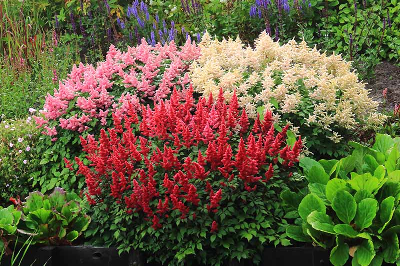A close up horizontal image of red and pink astilbe flowers blooming in the late summer garden in a raised border with perennials in soft focus in the background.