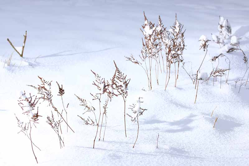 A close up horizontal image of a snowy garden with spent flower stalks still in the snow.