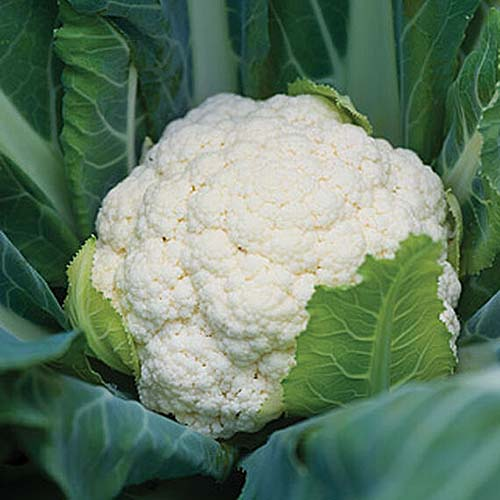 A close up square image of 'Attribute' cauliflower growing in the garden with creamy white curds developing on the head, surrounded by dark green folilage.