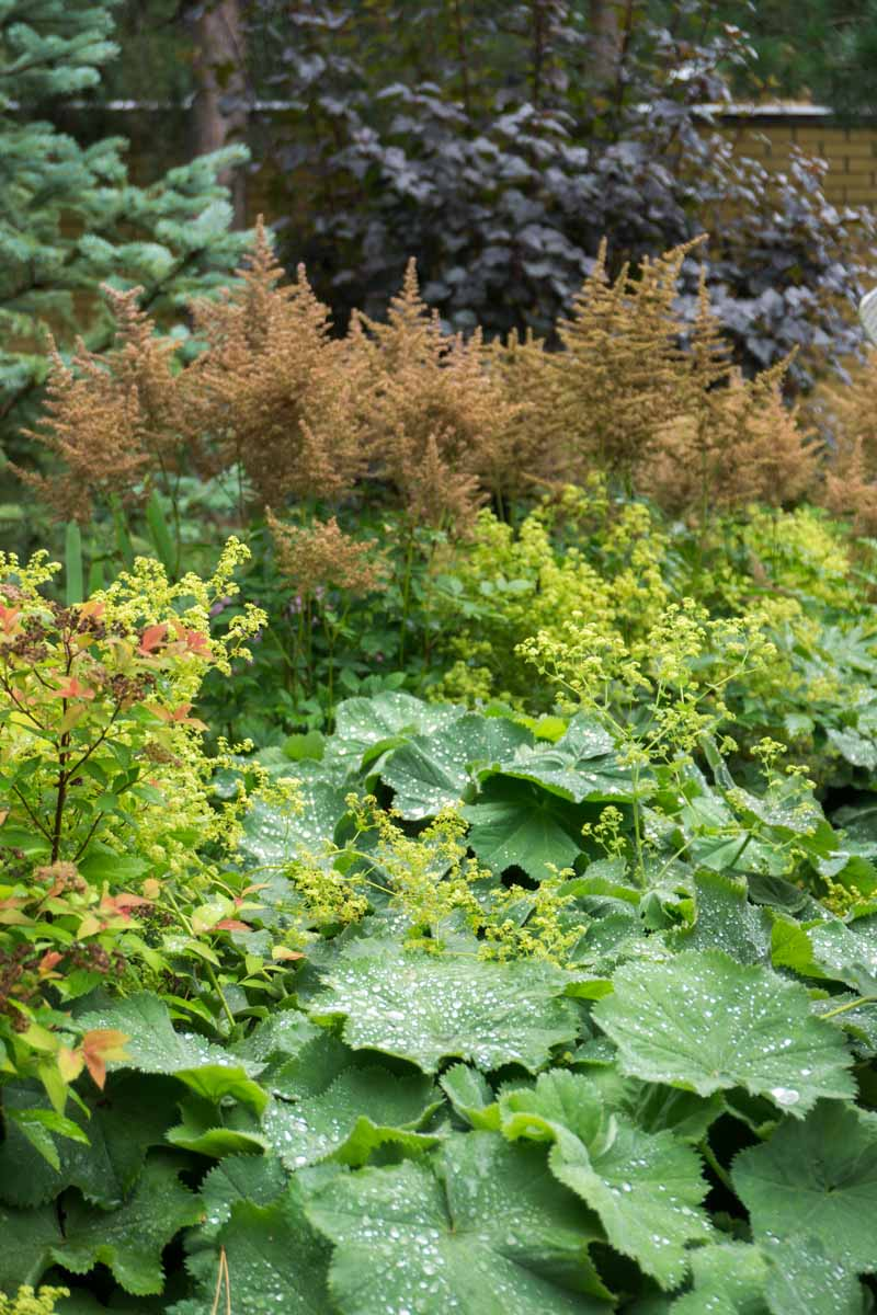 A vertical image of a fall garden scene of astilbe plants growing behind lady's mantle with shrubs and a wall in soft focus in the background.