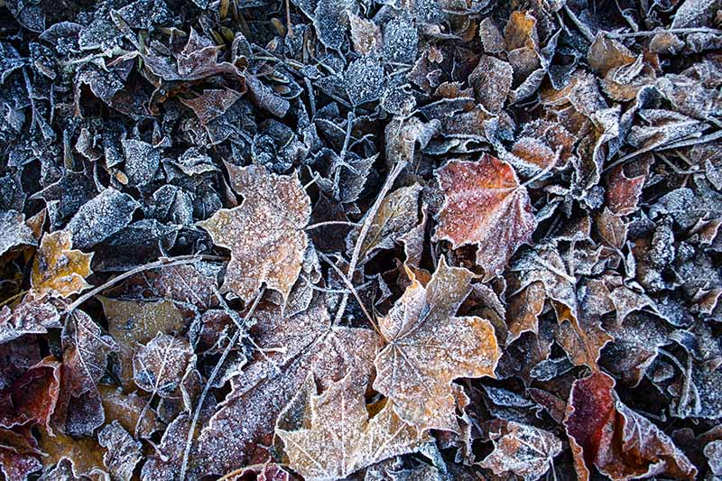 A close up horizontal image of autumn leaves covered with a light dusting of frost.