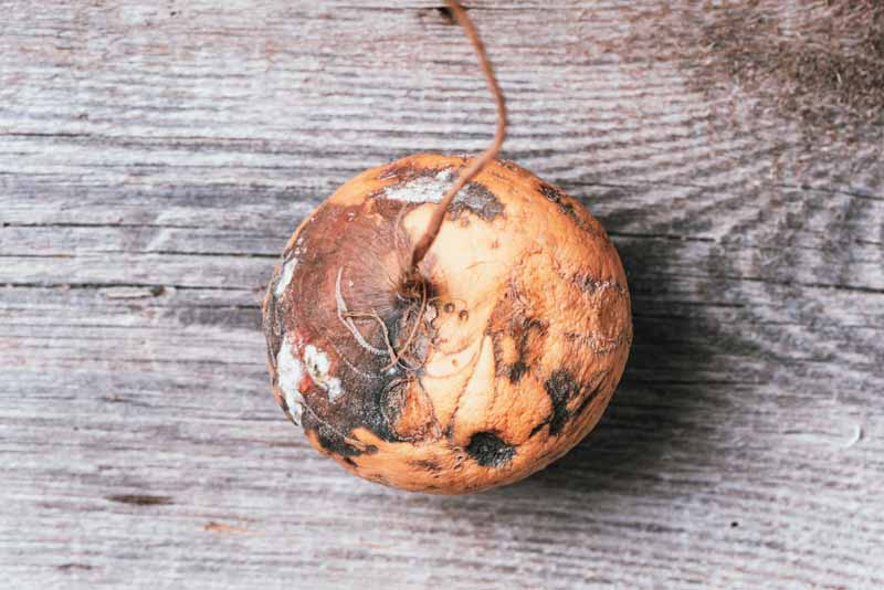 A close up horizontal image of a harvested turnip that is suffering from bacterial soft rot set on a wooden surface.