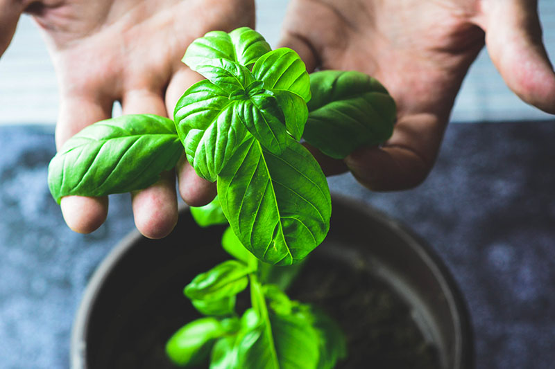 A close up horizontal image of two hands from the top of the frame examining the leaves of a potted basil plant.