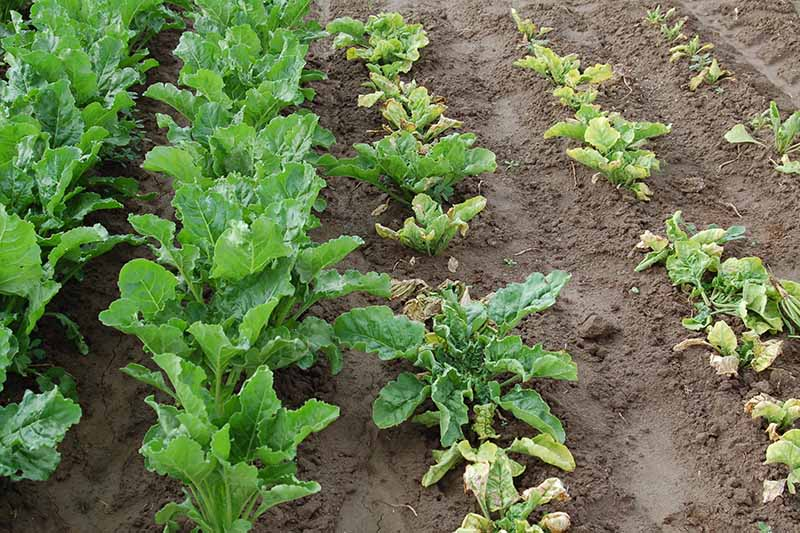 A horizontal image of rows of beets growing in a field with the ones on the left infected by curly top virus.