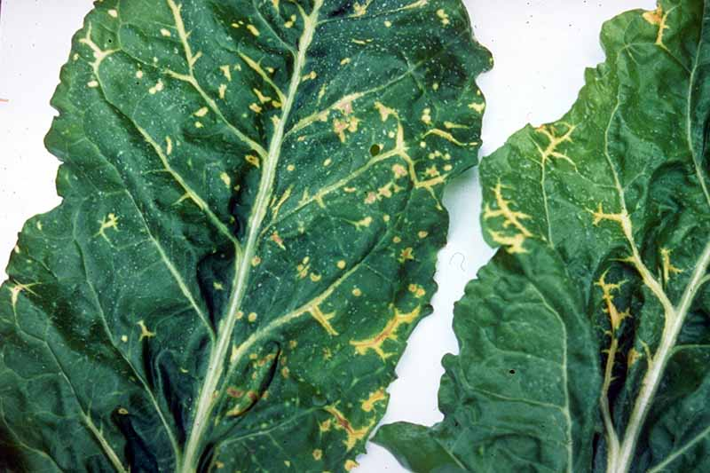 A close up horizontal image of beet leaves suffering from a virus causing them to turn yellow and die.