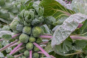 15 of the Best Brussels Sprout Varieties to Grow at Home