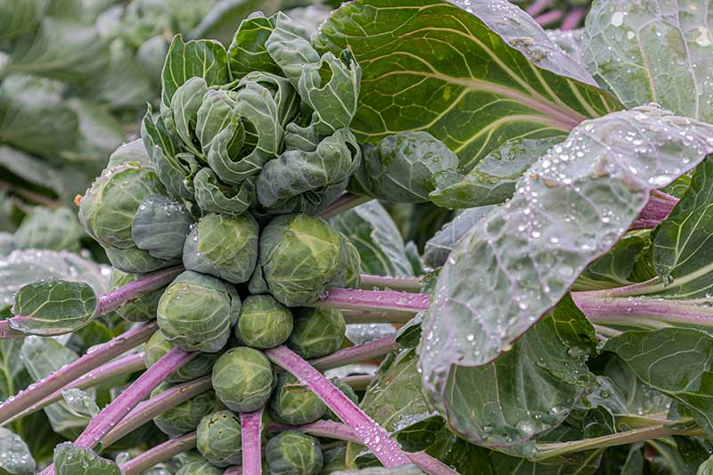 A close up horizontal image of a mature brussels sprout plant growing in the garden, with purple stems and buds ready to harvest pictured with water droplets on the leaves.