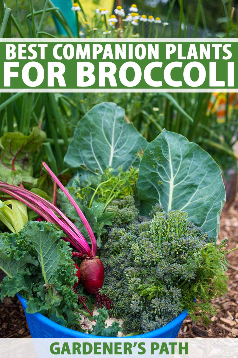 A vertical close up image of a small blue bucket containing a fresh harvest of broccoli with companions grown with it in the garden, on a soft focus background. To the top and bottom of the frame is green and white printed text.