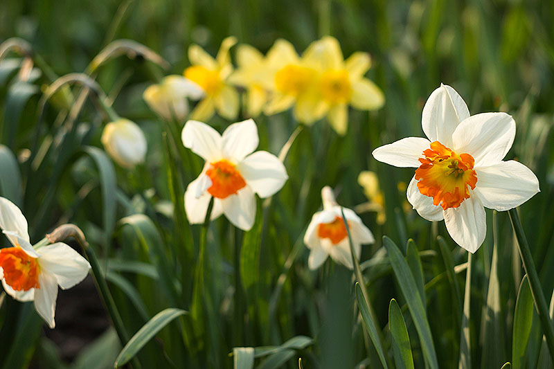 A close up horizontal image of white daffodils with orange centers growing in the garden surrounded by foliage with yellow flowers in soft focus in the background, pictured in light sunshine.