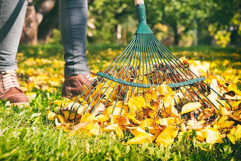 A close up horizontal image of a person wearing gray pants and brown shoes raking leaves from the lawn with a green metal tool, pictured in light sunshine on a soft focus background.
