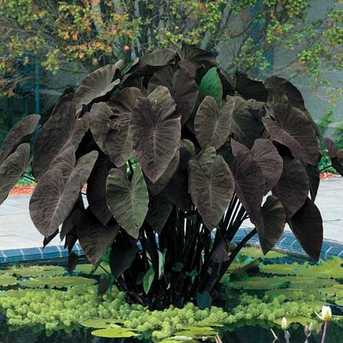 A close up square image of 'Black Magic' elephant ear plant growing in the garden.