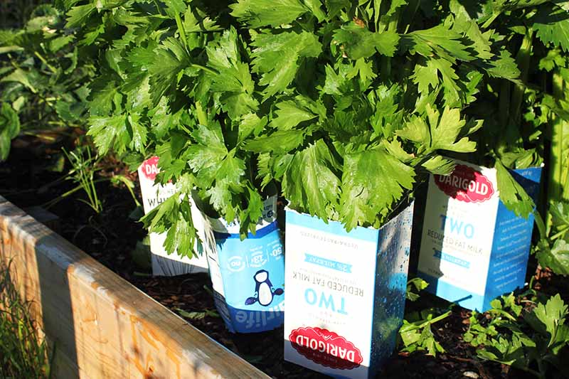 A close up horizontal image of celery in the garden being blanched using milk cartons, pictured in bright sunshine.