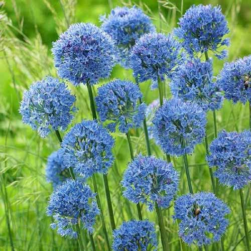 A close up square image of 'Blue Caeruleum' flowering allium growing in the garden with foliage in soft focus in the background.