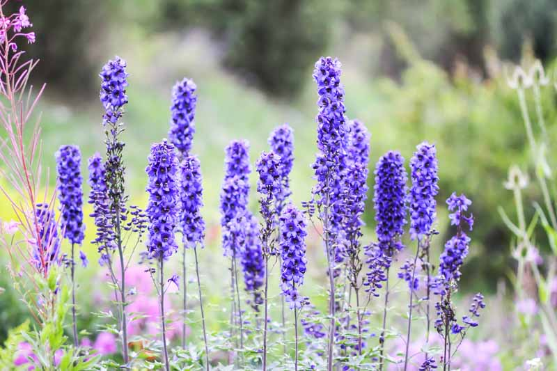 A close up horizontal image of blue delphinium flowers blooming in the late summer garden, pictured in light sunshine on a soft focus background.