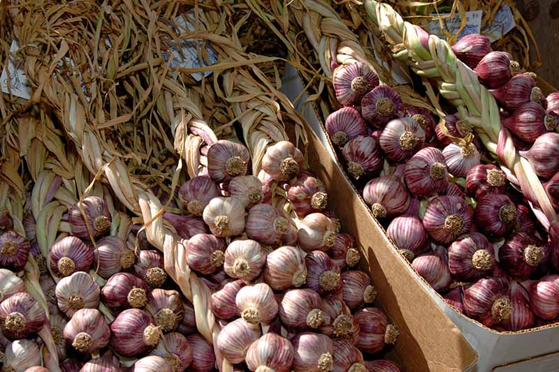A close up horizontal image of braided garlic bunches in piles in boxes at a market.