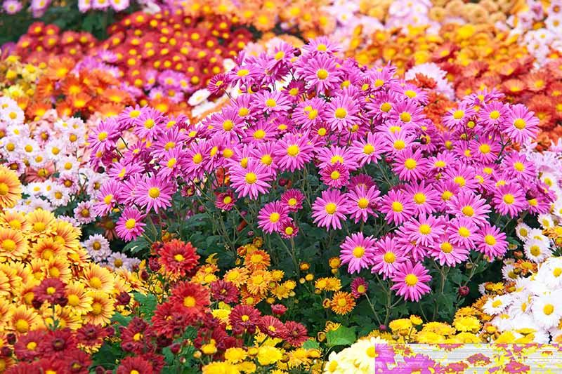 A close up horizontal image of vivid flowers blooming in the garden pictured in bright sunshine.