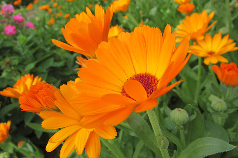 A close up of bright orange calendula flowers growing in the late summer garden pictured on a soft focus background.