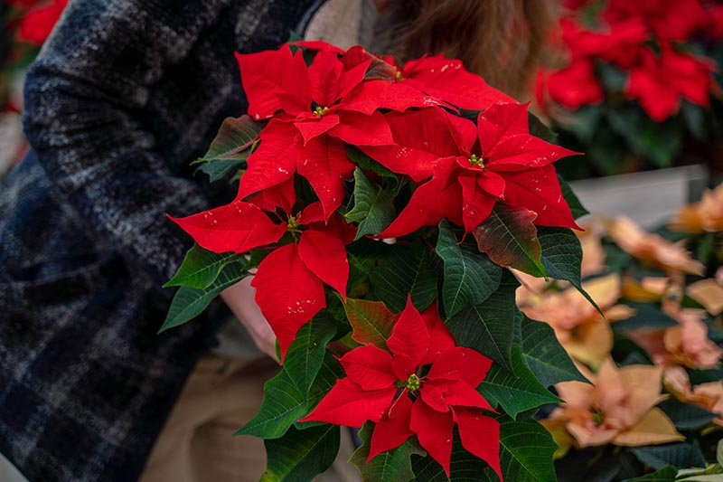 A close up horizontal image of a woman holding a potted Christmas flower with red bracts and green foliage pictured on a soft focus background.