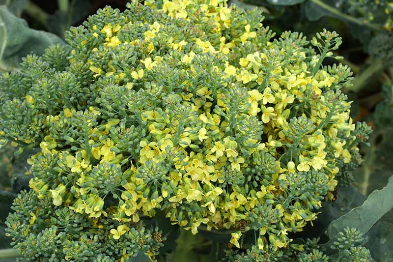A close up horizontal image of a head of broccoli that has been allowed to flower, producing yellow blooms, pictured on a soft focus background.