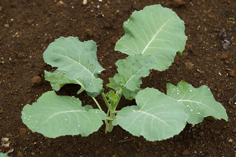 A close up horizontal image of a broccoli seedling growing in the garden in dark, rich soil.