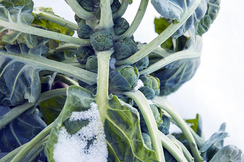 A close up horizontal image of a brussels sprout plant growing in the garden with developing buds and a light dusting of snow on the foliage.