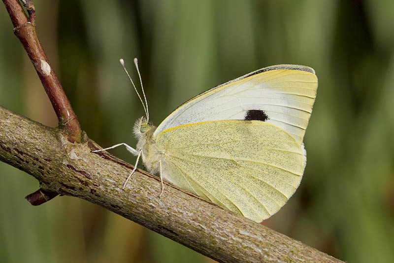 A close up horizontal image of a butterfly on a branch pictured on a soft focus background.