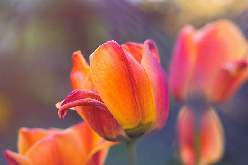 A close up horizontal image of the brown and orange bicolored 'Cairo' tulip, pictured on a soft focus background.