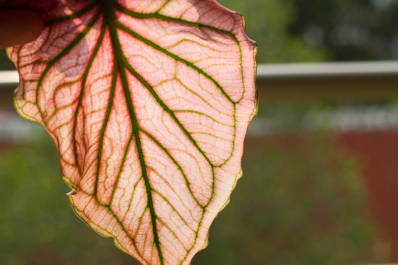 A close up horizontal image of a caladium leaf that has started to droop in the fall, pictured in light sunshine on a soft focus background.