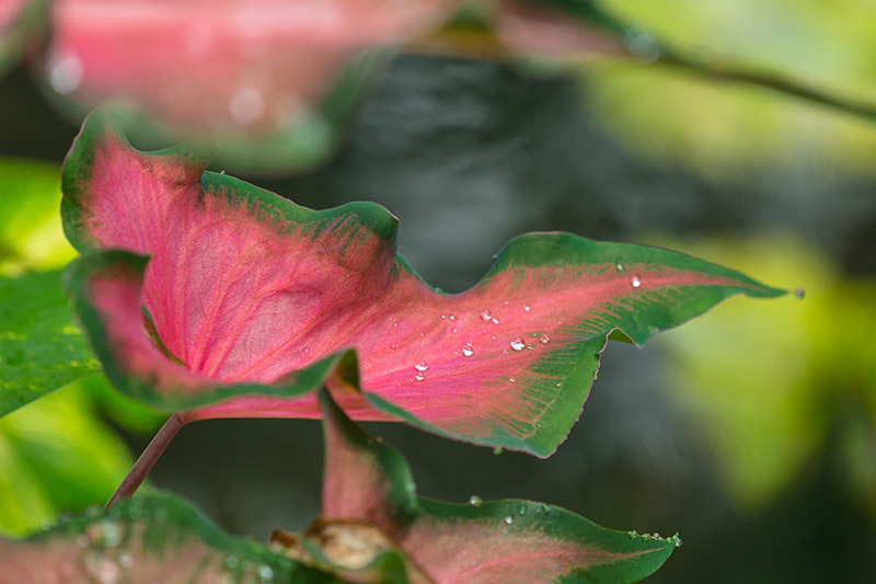 A close up horizontal image of a green and pink caladium growing in the garden pictured in light sunshine pictured on a soft focus background.