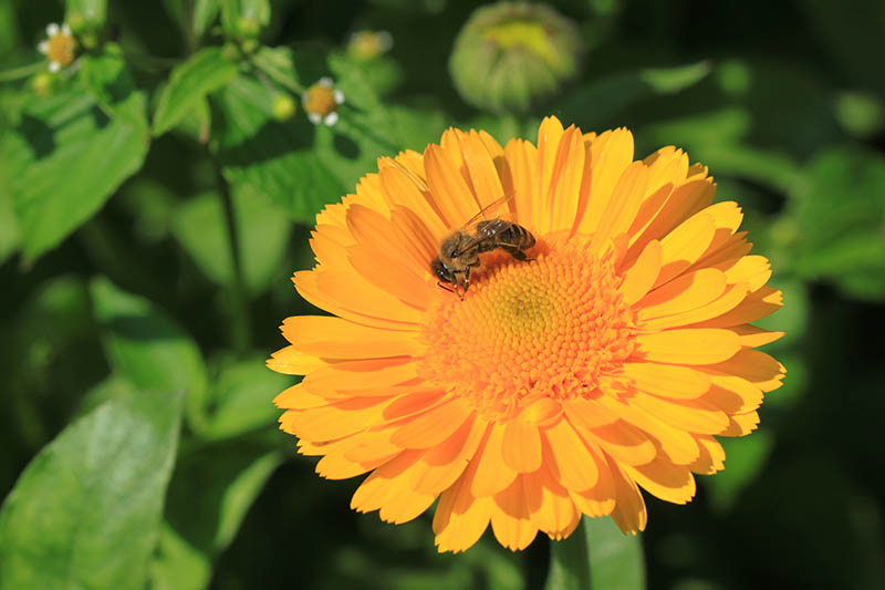 A close up horizontal image of a double-petalled pot marigold flower with a bee feeding, pictured in bright sunshine on a soft focus background.