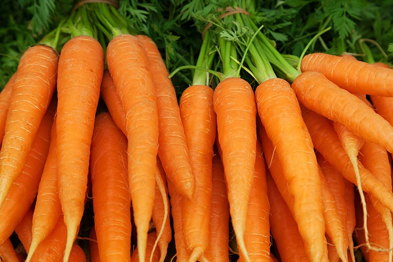 A close up horizontal image of bright orange carrots with foliage still attached.
