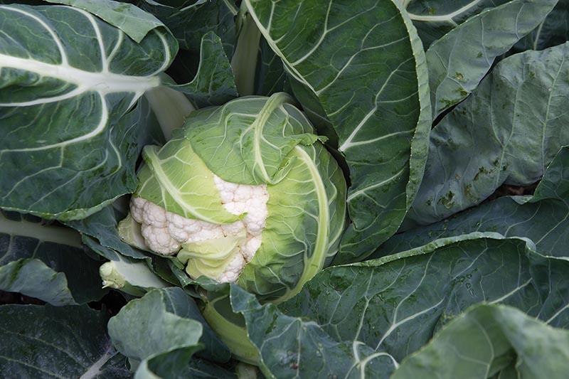A close up horizontal image of a cauliflower plant growing in a container, with the creamy white head developing, surrounded by foliage.