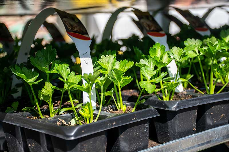 A close up horizontal image of small celery seedlings growing in plastic trays pictured in bright sunshine on a soft focus background.