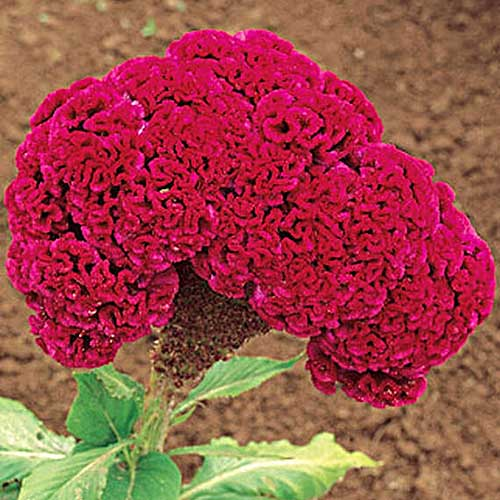A close up square image of a bright red celosia plant blooming in the garden.