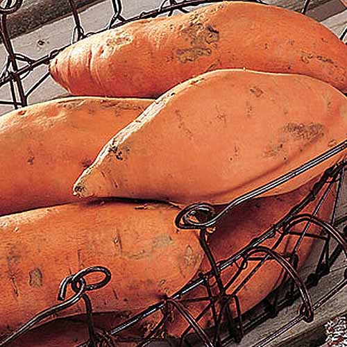 A close up square image of a small metal basket with 'Centennial' sweet potatoes in a pile set on a wooden surface.
