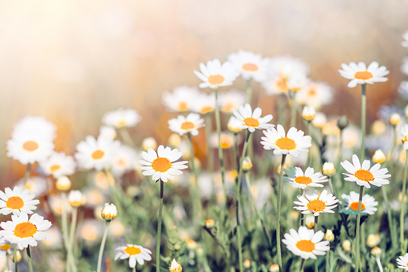 A close up horizontal image of the pretty white flowers of German chamomile growing in the garden pictured in light sunshine on a soft focus background.