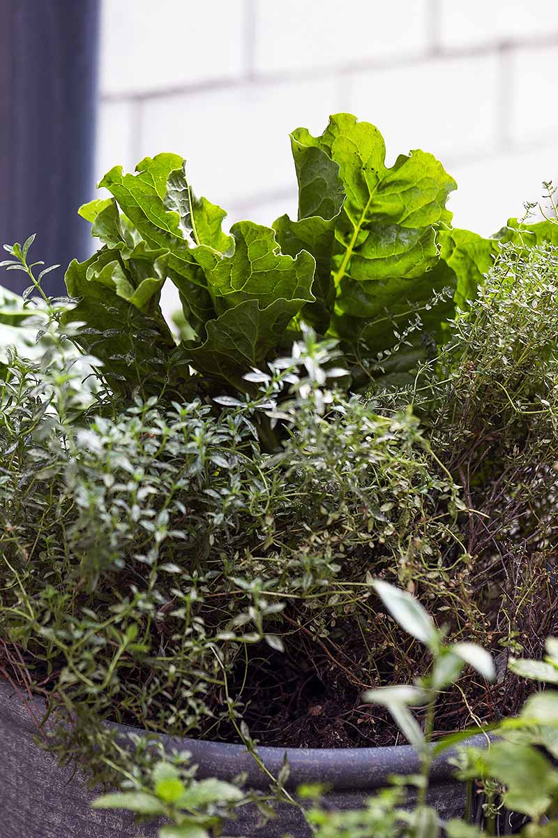 A close up vertical image of a blue ceramic pot growing Swiss chard and a variety of herbs.
