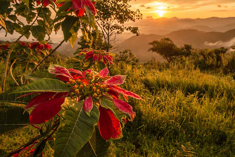 A horizontal image of a Christmas flower growing wild to the left of the frame, with colorful red bracts, and mountains and setting sun in soft focus in the background.